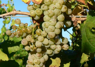 10_yarrawood_riesling-fruit